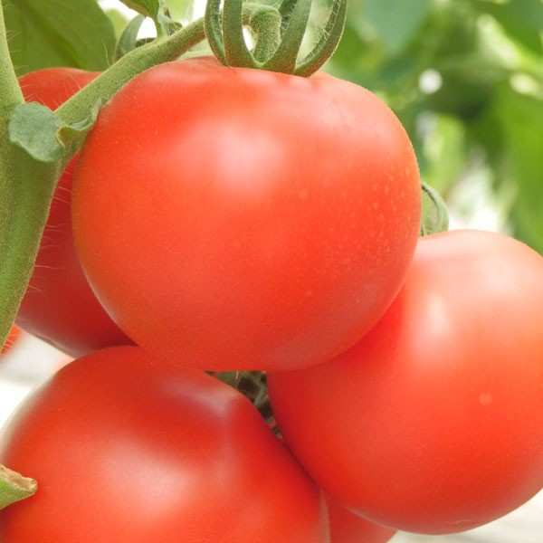 Seminte tomate Kiveli - SEMINIS 100 seminte