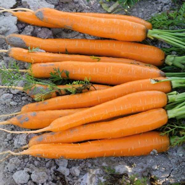 Seminte morcov Carazzo F1 SEMINIS 100.000 seminte