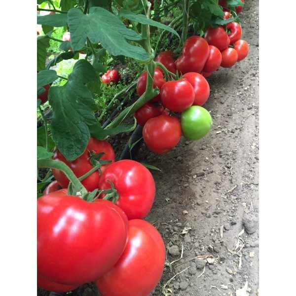 Seminte de tomate Yigido SEMINIS 500 seminte