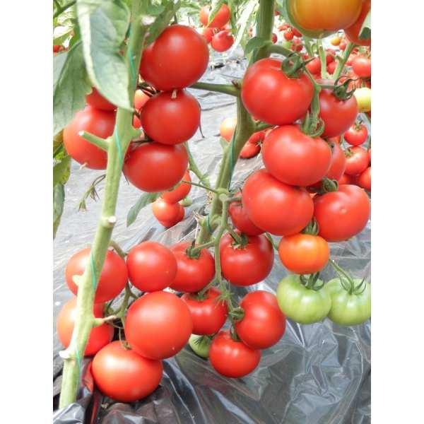 Seminte tomate Venezia SEMINIS 500 seminte