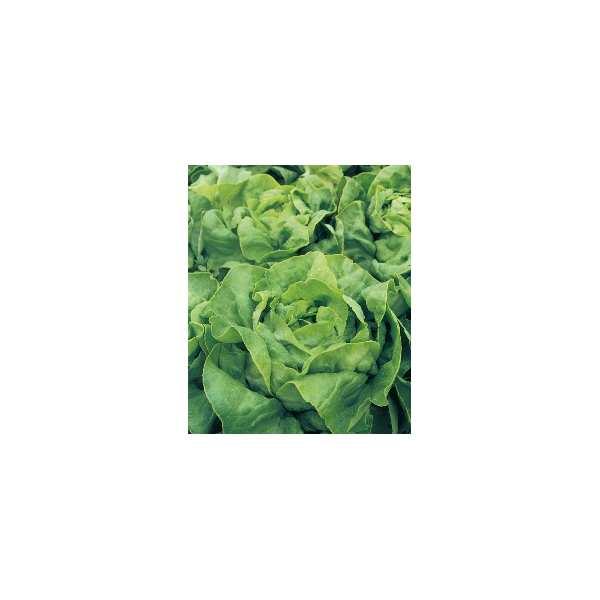 Seminte salata Alanis SEMINIS 5.000 seminte