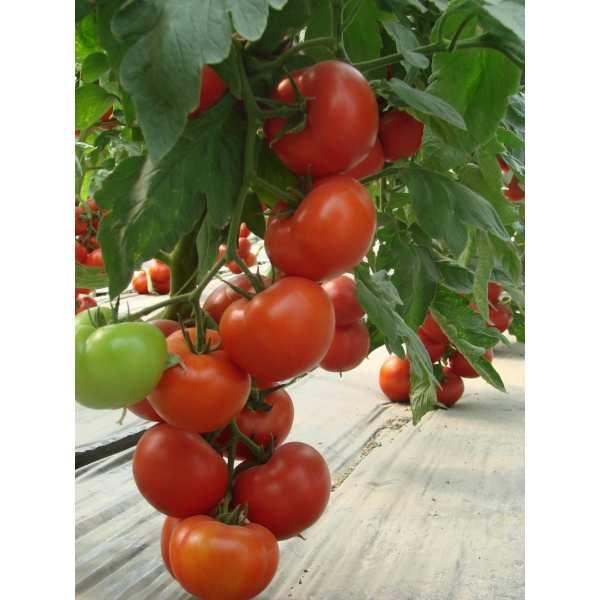 Seminte tomate Klass - SEMINIS 100 seminte