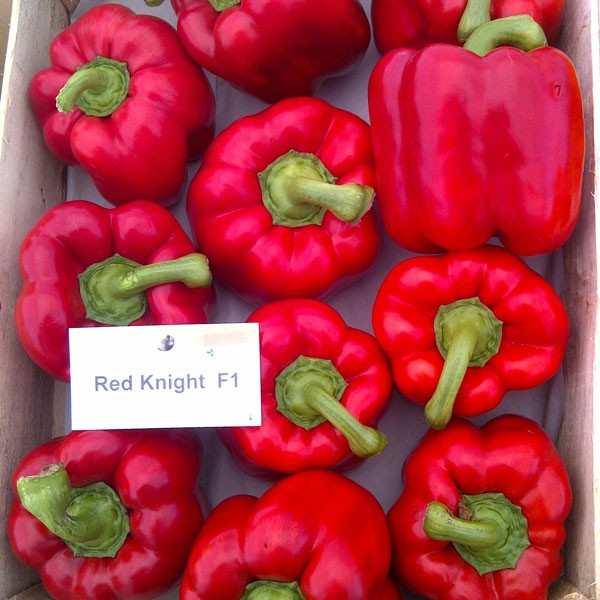 Seminte ardei gras Red Knight SEMINIS 500 seminte