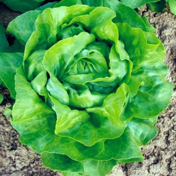 Seminte salata Touareg SEMINIS 5.000 seminte-Seminte Profesionale