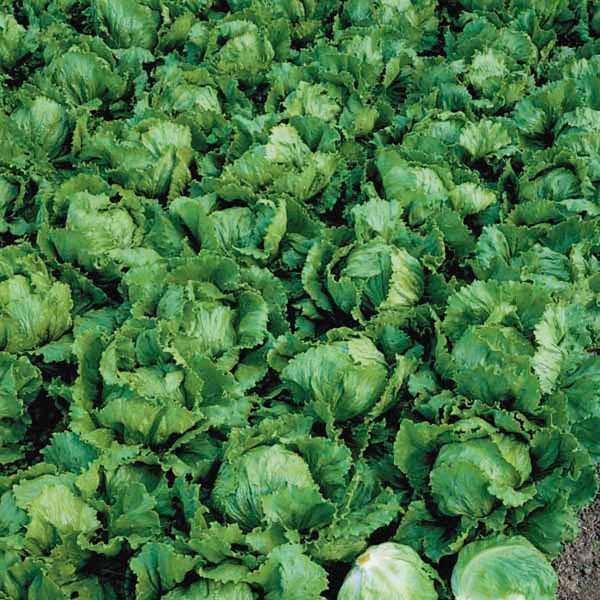 Seminte salata Stallion SEMINIS 5.000 seminte