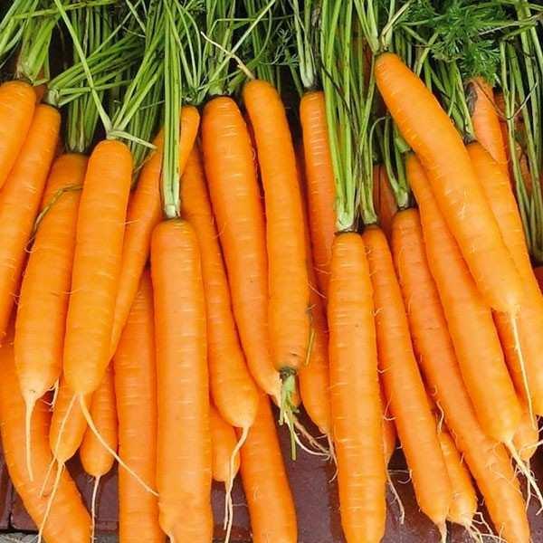 Seminte morcov Carvora F1 SEMINIS 100.000 seminte