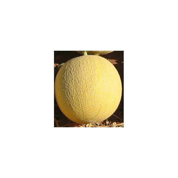 Seminte pepene galben Cory F1 SEMINIS 100 seminte