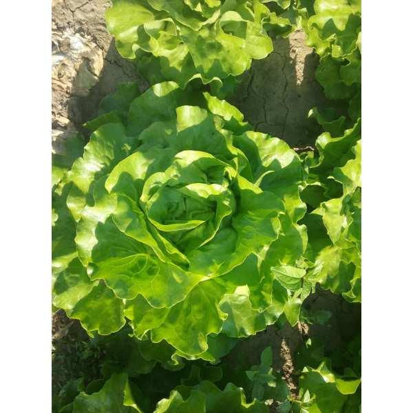 Seminte salata SV0001LB SEMINIS 5.000 seminte