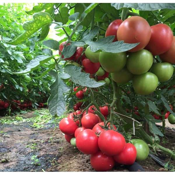 Seminte tomate roz Mei Shuai SEMINIS 100 seminte