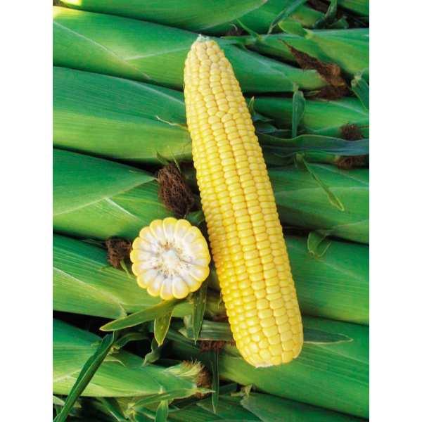 Seminte porumb zaharat Basin F1 SEMINIS 5.000 seminte